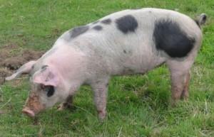 food-tour-piglet