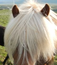 close.up.big.fringe horse