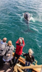 Whale.Watching.in.North.Iceland